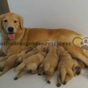 Golden Retriever - Filhotes com pedigree - Goiania