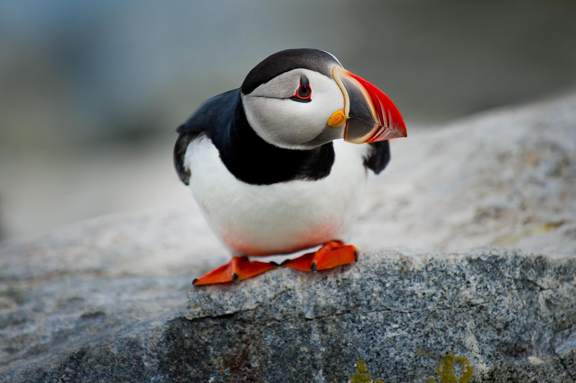 Papagaio do mar, animal encontrado na Islândia.