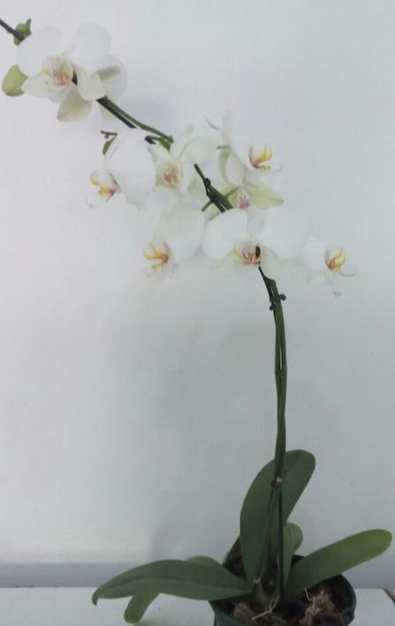 Flores Serra Negra - Floricultura Serra Negra - Produto 1