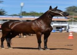 cavalo-da-raca-mangalarga-marchador