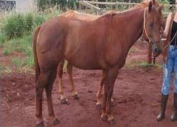 leilao-de-cavalos-ef-proud-to-lider