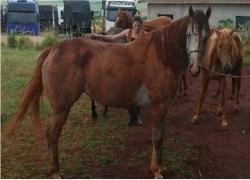 leilao-de-cavalos-brighid-icy