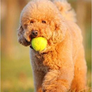 4 Bolas Amarelas Brinquedo para Pet