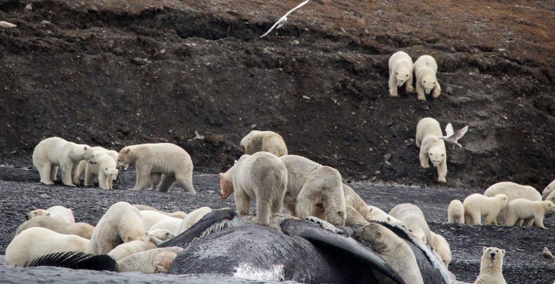 invasión de osos polares