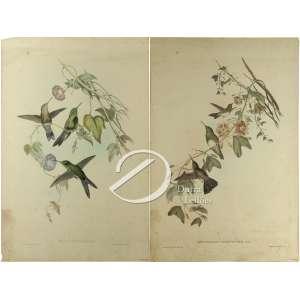 Duas gravuras coloridas de colibris sendo Erythronotaniveiventris e outra Sporadinusflegans, desenhos de J. Could e H.C. Pichter, 48 x 32 cm cada. Sem moldura. No estado. - R$ 50,00