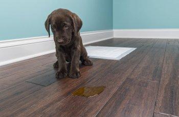 Como tirar cheiro de xixi de cachorro de casa? Saiba aqui!