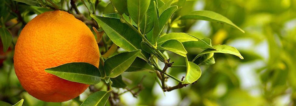 O efeito da Citrus aurantium na redução de gordura corporal