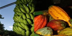 Cacau e banana despontam como novos destaques do oeste baiano