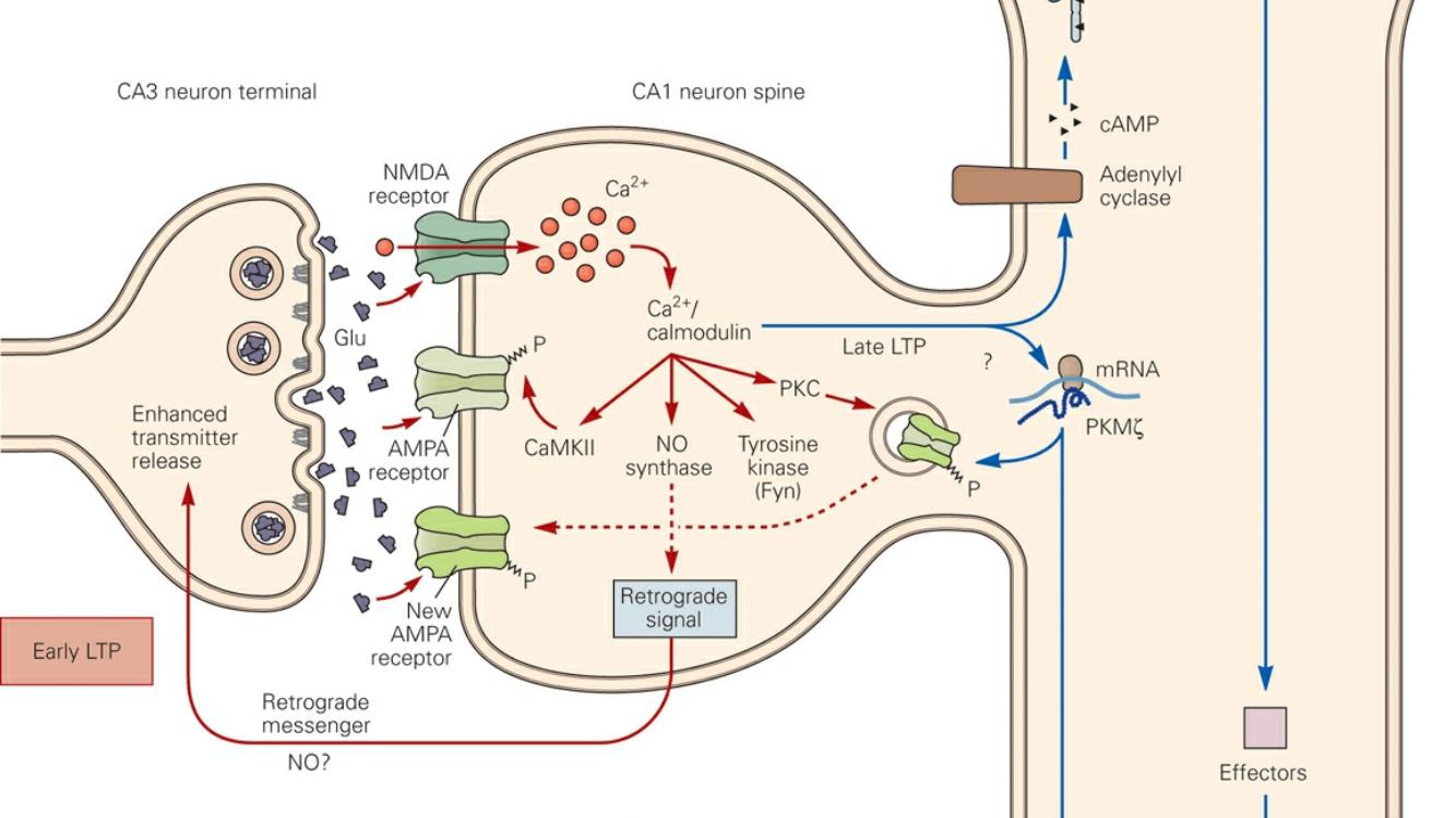 Sinapse e memória