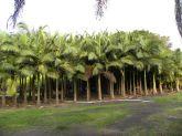 Muda de palmeira pupunha 20cm