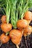 Cenoura redonda para conserva frete gratis