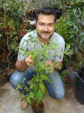 Muda de pimenta hungarian black quase 1mt produzindo