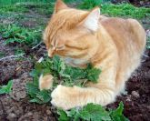 Catnip erva de gato frete gratis
