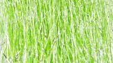 KINKY FLASH (Chartreuse 3D)