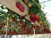 Morango vermelho rouge comercial frete gratis