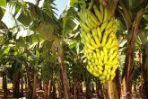 Muda de banana nanica 1mt