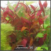 Alternanthera reineckii ''Roseafolia'' - AR002