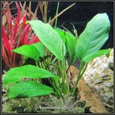 Anubias barteri var. nana ''Long Leaf'' - AB011