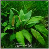 Anubias minima - AM013