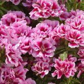 Azaleia godetia hibrida frete gratis