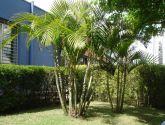 Muda de palmeira areca bambu 35cm