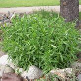 Estragão russo ( Artemisia dracunculus) frete gratis