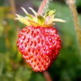 Morango ornamental comestivel frete gratis
