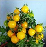 Tomate cereja amarelo frete gratis