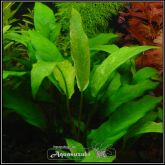 Anubias sp ''Gabon'' - AS014