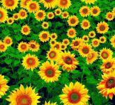TNT Flores do Sol 1m