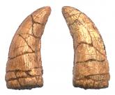 Prestosuchus chiniquensis (dente)