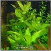 Ammannia multiflora - AM005