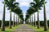 Muda de palmeira real 35cm