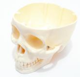 Crânio Humano Porta Treco Cabeça Caveira Anatomia