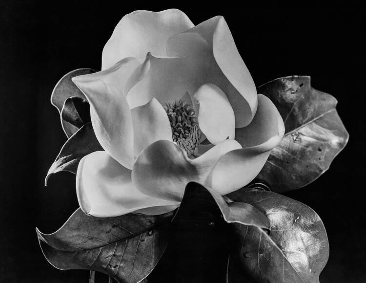 Anatole Saderman. Magnolia, ca. 1939.