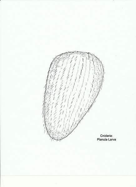 Desenho típico de uma larva Plânula.