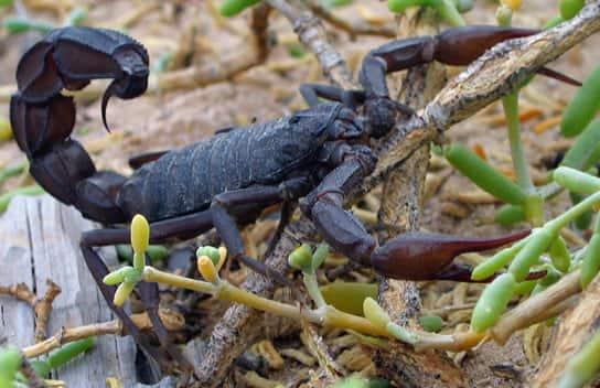 Escorpião-negro de nome científico Androctonus crassicauda.
