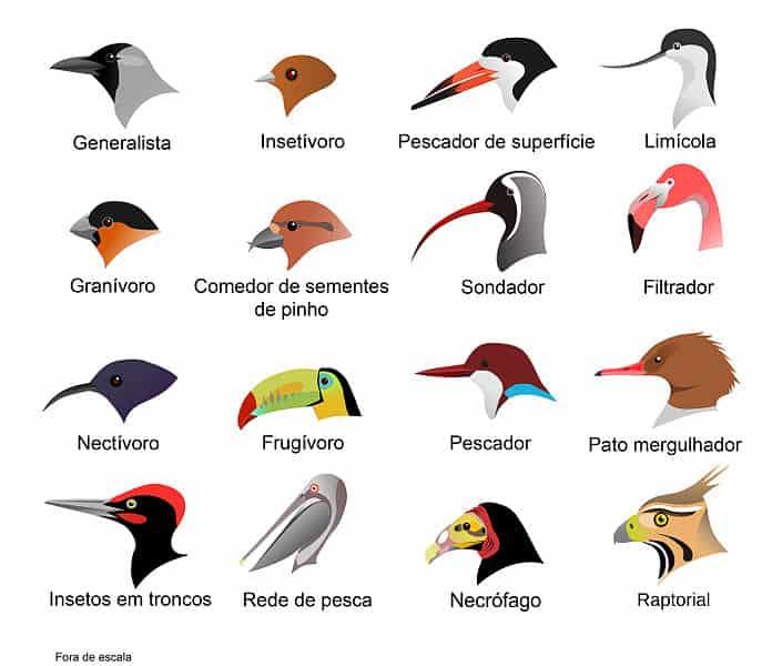 Diferença no formato do bico das aves. Principal técnica para inferir seus hábitos alimentares.