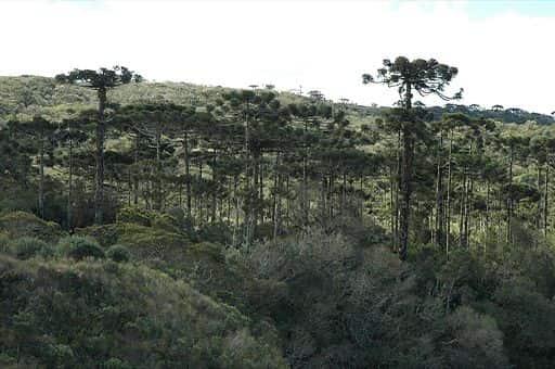 Mata de Araucárias localizada no Parque Nacional de Aparados da Serra, localizado na divisa dos estados de Santa Catarina e Rio Grande do Sul.