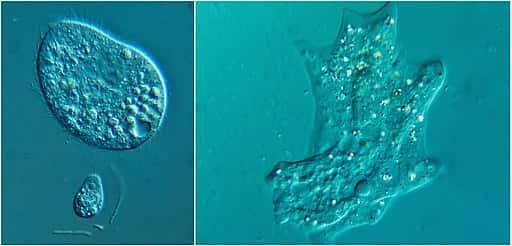 Exemplo de uma ameba. à direita, está usando seus pseudópodes para se locomover ou se alimentar.