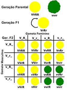 Nesse caso, o diagrama está relacionado a cor e textura da semente após a autofecundação de uma planta diíbrida (VvRr). Portanto o Gene V é responsável pela cor Amarela e é dominante com relação ao gene v que expressa a cor verde. A mesma coisa ocorre com a textura das sementes. O gene R expressa a textura lisa e é dominante com relação ao gene r que expressa a textura rugosa.