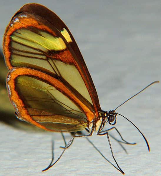 Greta oto, uma borboleta.