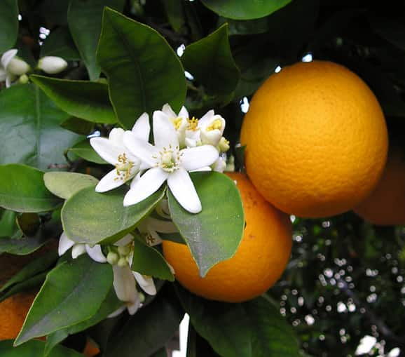 Flores e frutos da laranjeira.
