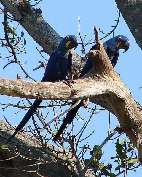 Arara-azul, espécie de ave encontrada no Pantanal. Atualmente, encontra-se ameaçada de extinção.