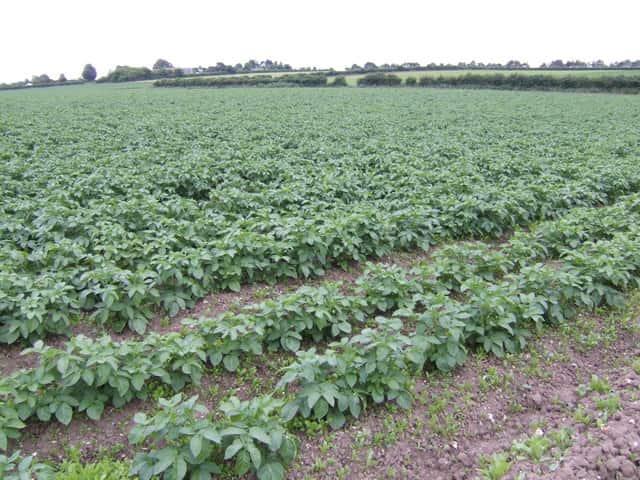Plantação de batata, um exemplo de tubérculo.