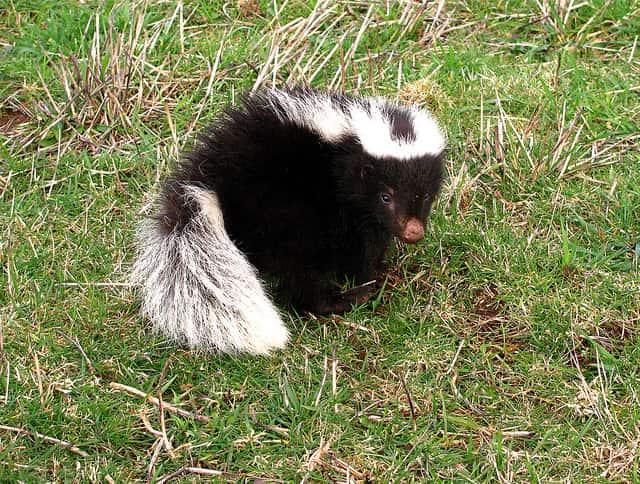 Zorrilho, mamífero típico do bioma Pradaria.