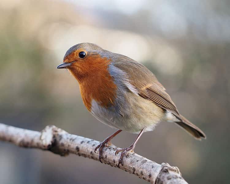 Pisco-de-peito-ruivo (Erithacus rubecula), pássaro que vive em todo o continente europeu.