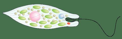Estrutura de um euglenóide mostrando o núcleo celular (rosa), cloroplastos (verde), ocelo (vermelho) e o vacúolo contrátil (azul).