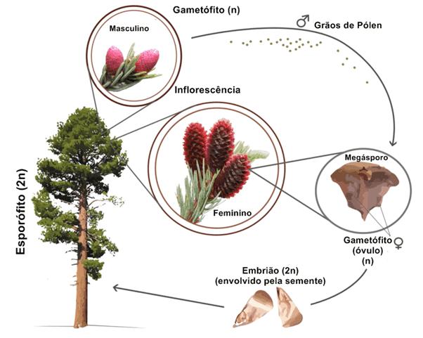 Ciclo de vida das gimnospermas mostrando um pinheiro adulto (esporófito 2n) monóico em que, dos seus microsporângios, surge o grão-de-pólen, que através do vento pode ser levado até o gametófito feminino (megásporo), que quando fecundado origina o óvulo, que se desenvolve até gerar um embrião, que é envolvido pela semente e quando em contato com o solo pode germinar.