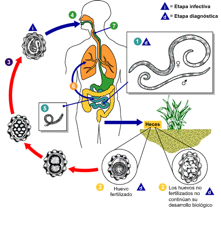 Ciclo de Vida do Ascaris lumbricoides.